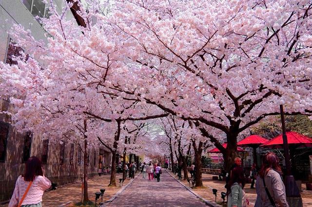Những sự kiện lễ hội mùa xuân độc đáo ở Tokyo